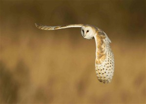 The design of barn owls' wings enables them to hunt by stealth. Photo: Andy Rouse / Rex Features
